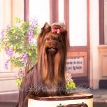 Кобель йоркширский терьер, шоколадный. на вязку, Барнаул