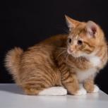 Продается курильский бобтейл котята, Барнаул