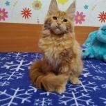 Шикарные котята Мейн-кунчиков, Барнаул
