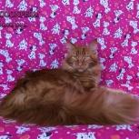 Котёнок мейн кун уникального красного окраса, Барнаул