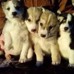 Продам щенков Западно-Сибирских лаек, Барнаул
