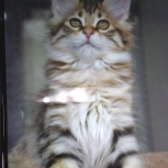 Продам котят курильский бобтейл, Барнаул