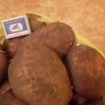 Картофель крупный, свой, Барнаул