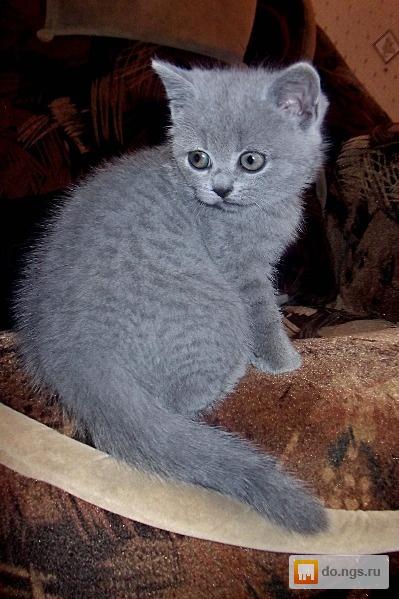 Чем кормить британского котенка? - Британские котята ...