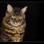Элитные котята мейн кун, Барнаул